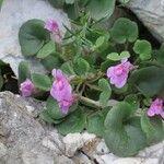 Cymbalaria hepaticifolia