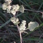 Chenopodium vulvaria