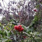 Eugenia uniflora Gyümölcs