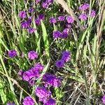 Verbena rigida Flower