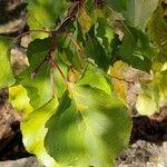 Prunus armeniaca Leaf