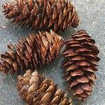 Picea sitchensis