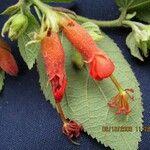 Helicteres guazumifolia