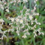 Polycarpaea smithii
