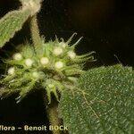 Marrubium echinatum