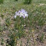 Anthericum liliago Blomst