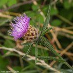Centaurea decipiens