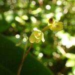 Bulbophyllum minutum