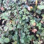 Rubus fruticosus Blad