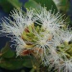 Inga densiflora