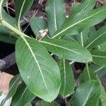 Catharanthus roseus Blatt
