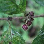 Cupania juglandifolia