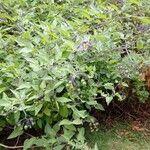 Solanum dulcamara Leaf