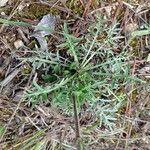 Centaurea paniculata Blad