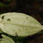 Miconia ceramicarpa