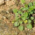 Erodium reichardi