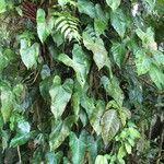 Philodendron cotonense