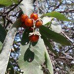 Pappea capensis