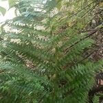 Tectaria incisa