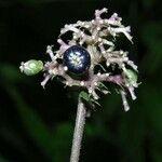 Psychotria hebeclada