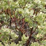 Arctostaphylos parryana