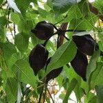 Brachychiton populneus Owoc
