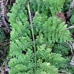 Woodsia alpina
