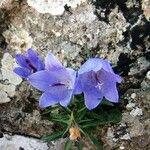 Campanula forsythii