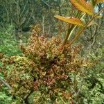 Pistacia terebinthus List