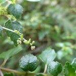 Pilea urticifolia