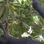 Plumeria obtusa