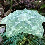 Podophyllum cv. 'Kaleidoscope'