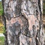 Pinus sylvestris Koor