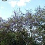 Jacaranda caucana