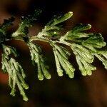 Hymenophyllum javanicum