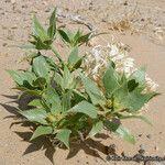 Stillingia spinulosa