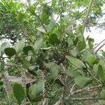 Oryctanthus spicatus