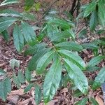 Phaleria capitata