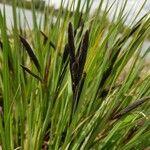 Carex acutiformis