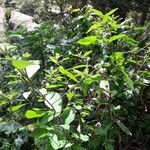 Sida rhombifolia Habit