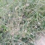 Lepidium graminifolium