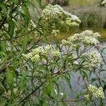 Austroeupatorium inulaefolium