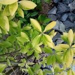 Euonymus japonicus Leaf
