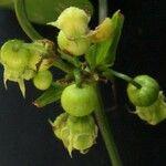 Cayaponia granatensis