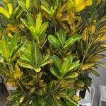 Codiaeum variegatum Leaf