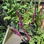 Salvia sylvestris Kukka