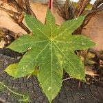 Ricinus communis Leaf