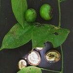 Anomospermum reticulatum