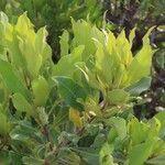 Euclea divinorum Leaf