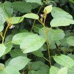 Solanum erythrotrichum